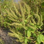 Giant_ragweed_flower-picture
