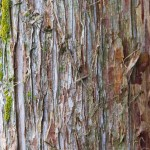 Eastern-red-cedar-bark-picture