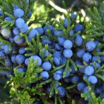 Eastern-red-cedar-berries-picture