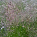 Meadow-fescue-blossom1-picture