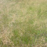 Meadow-fescue-picture