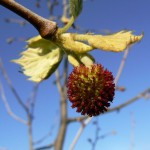Sycamore-flower-picture