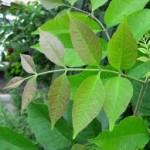 ash-tree-leaf-e1387490272535-150x150