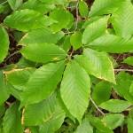 beech-leaf-e1387495309370-300x300