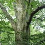 beech-tree-e1387495273292-150x150