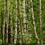 birch-trees-with-typical-barks-picture