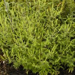 common-short-ragweed-picture