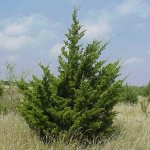 eastern-red-cedar-tree-picture