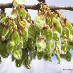 elm-flower-fruit-picture