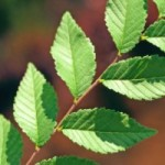 elm-leaf-picture