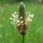 english-plantain-flower-picture