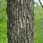 hickory-bark-picture