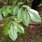 hickory-leaf-picture