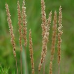 june-grass-flower-picture