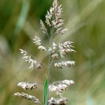kentucky-bluegrass-flower-spike1-picture