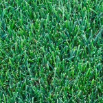 kentucky-bluegrass-lawn-picture