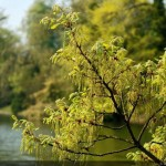 oak-tree-blooms-picture