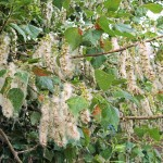 poplar-seed-picture