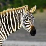 primary-immunodeficiency-rare-zebra-266x300