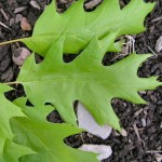 red-oak-tree-leaf-picture