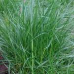 rye-grass-tuft-picture