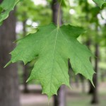 sugar-maple-leaf-picture