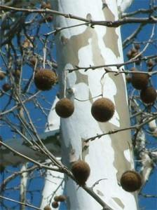 Hay Fever Spring Tree Pollen In New York Hui Allergy
